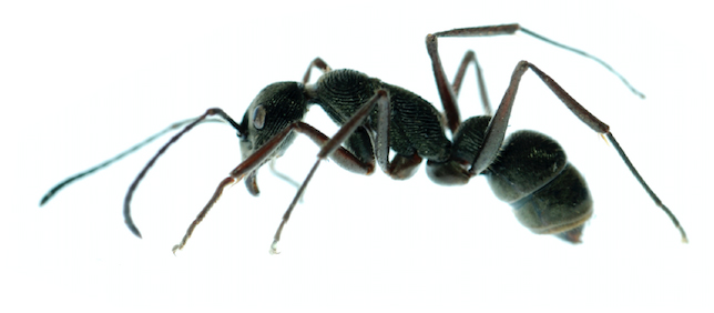Orange County ant removal - Preferred Pest Control