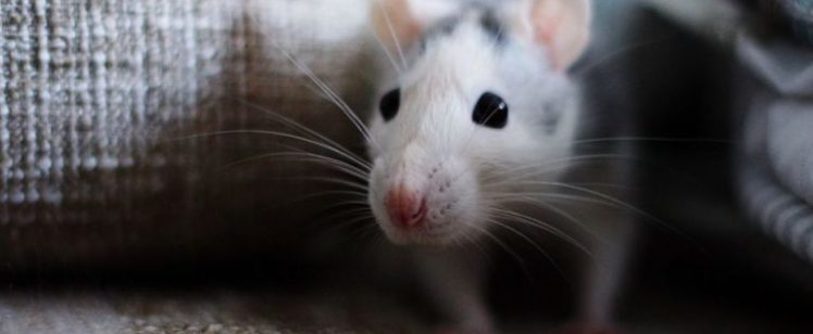How to Get Rid of Mice  And Keep Them Away for Good