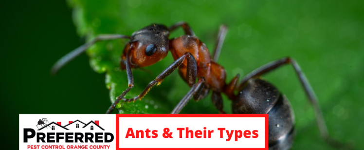 PEST CATEGORY: ANTS