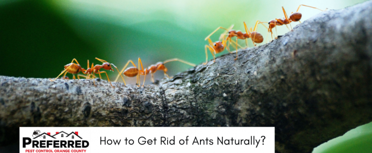 Natural Ways to Get Rid of Ants | Preferred Pest Control