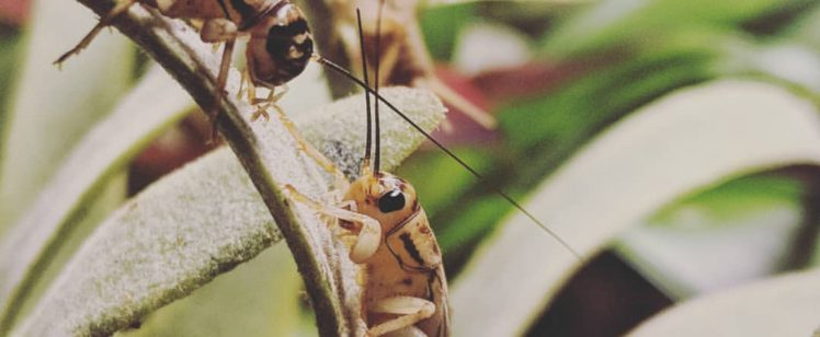 Crickets Mating Season is Here! What You Need to Know.