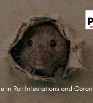 Increase in Rat Infestations in During Pandemic Likely Has Multiple Causes