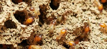 Pest Profile: Termites in Your Home