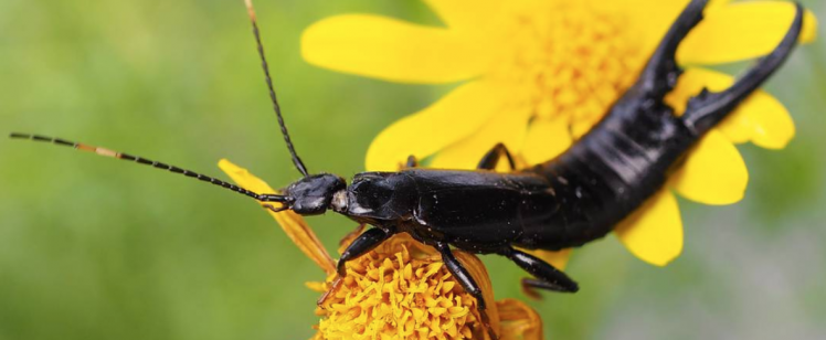 Earwigs & Other Common Landscaping Pests to Look Out For