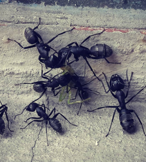 Ants, Common Orange County Pests