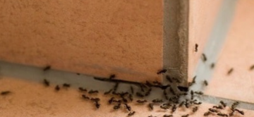 What You Need to Know About Controlling Ants in California