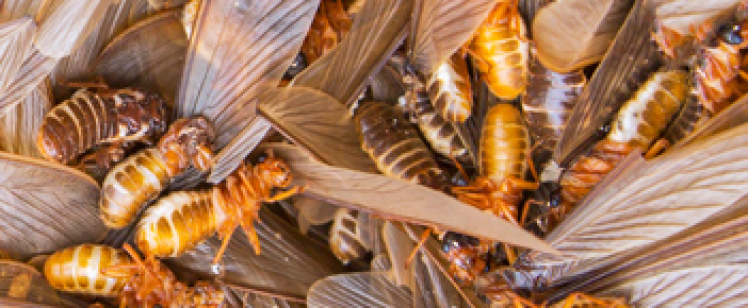 Drywood Termites Start of Drywood
