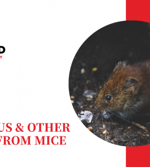 WHAT YOU NEED TO KNOW ABOUT HANTAVIRUS & OTHER DISEASES FROM MICE