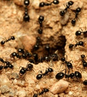 Ants – Orange County Infestation – How to get rid of them