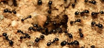 Ants - Orange County Infestation - How to get rid of them