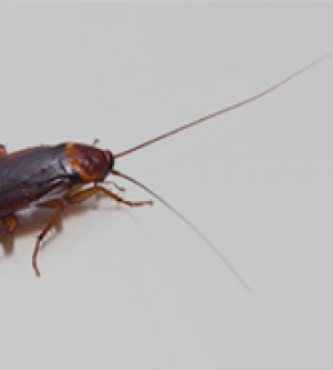 Dry Climate and American Cockroaches