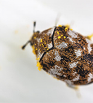 CARPET BEETLES DEVOUR MORE THAN RUGS
