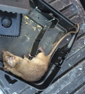Rodent Infestation in OC Cities